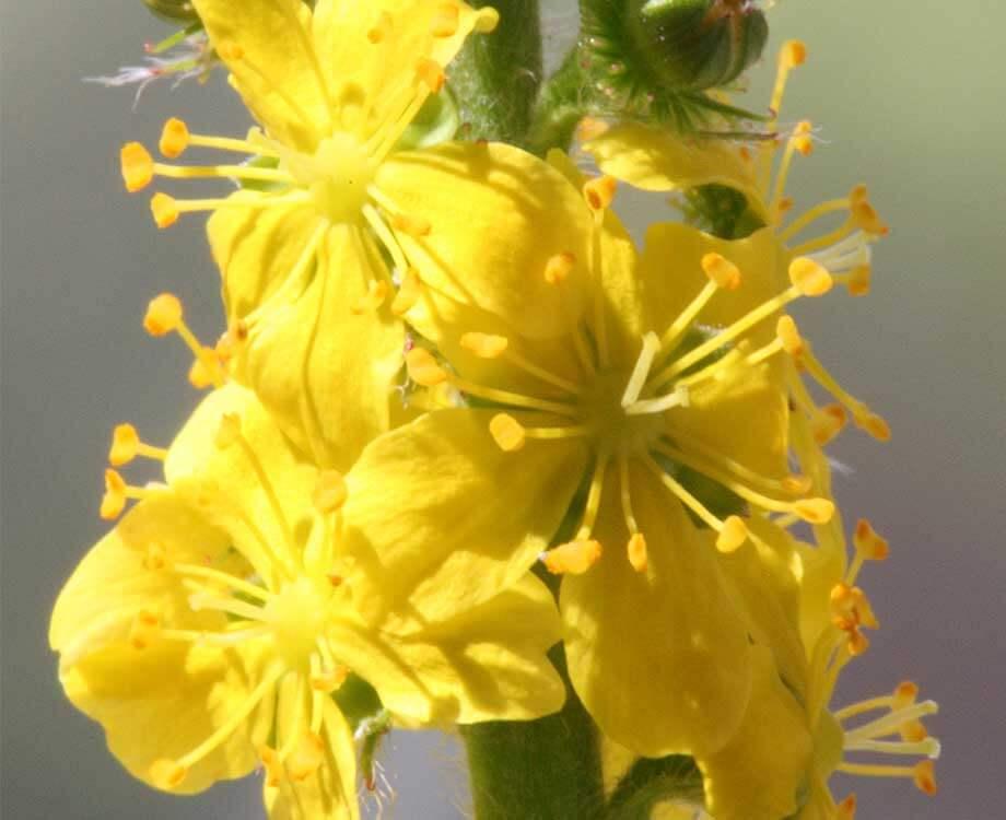 Bachblüte Aspen