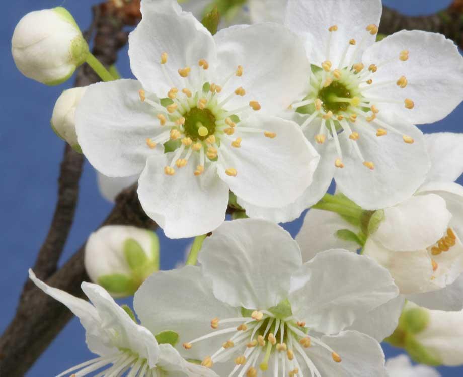 Bachblüte Chestnut Bud