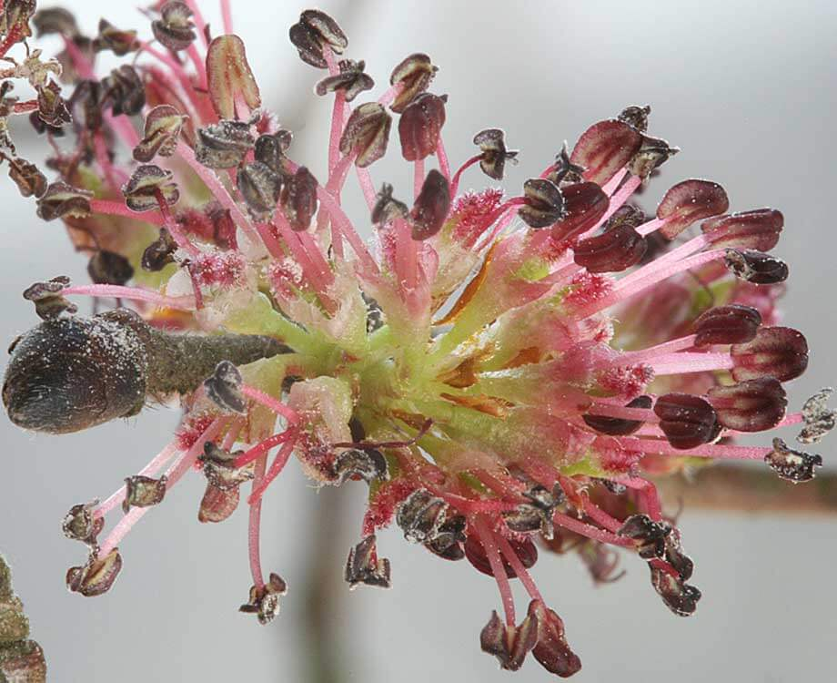 Bachblüte Gentian