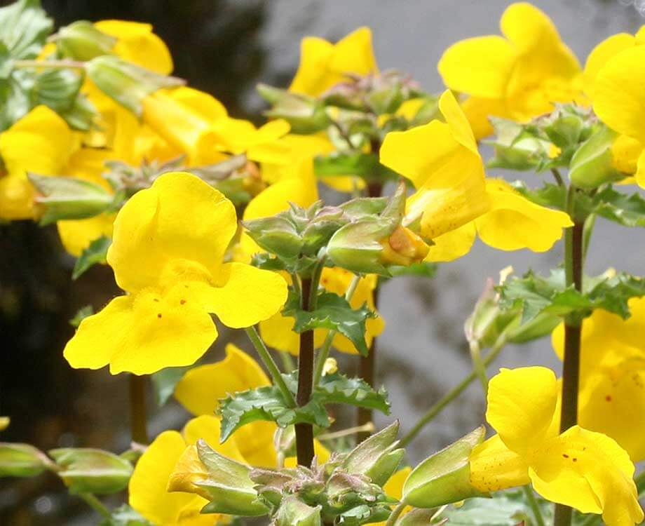 Bachblüte Mustard