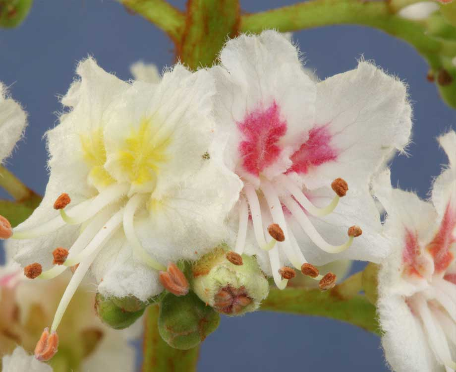 Bachblüte Wild Oat