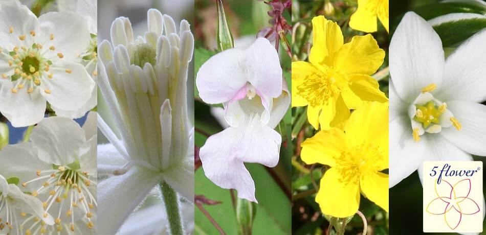 5 Flower – Original Bachblüten Mischung