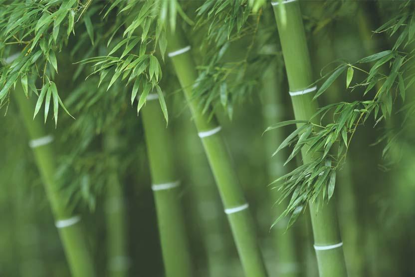 Bambus: Sinnbild für Resilienz