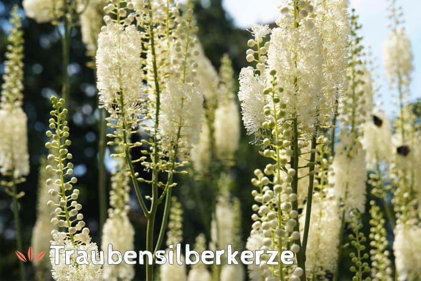 Traubensilberkerze (Cimifuga racemosa)